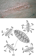 Fractofusus cast and diagram