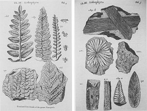 Fossil leaves