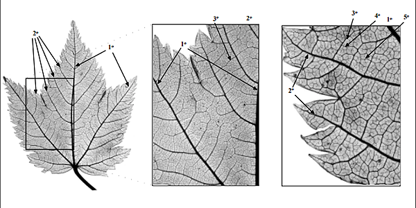 Venation patterns from the MLA